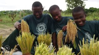 AfricaRice: Rice Science at the Service of Africa