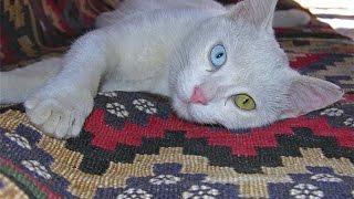 Վանա կատու ,  Vana katu  cat ,  Ванские кошки с разными глазами