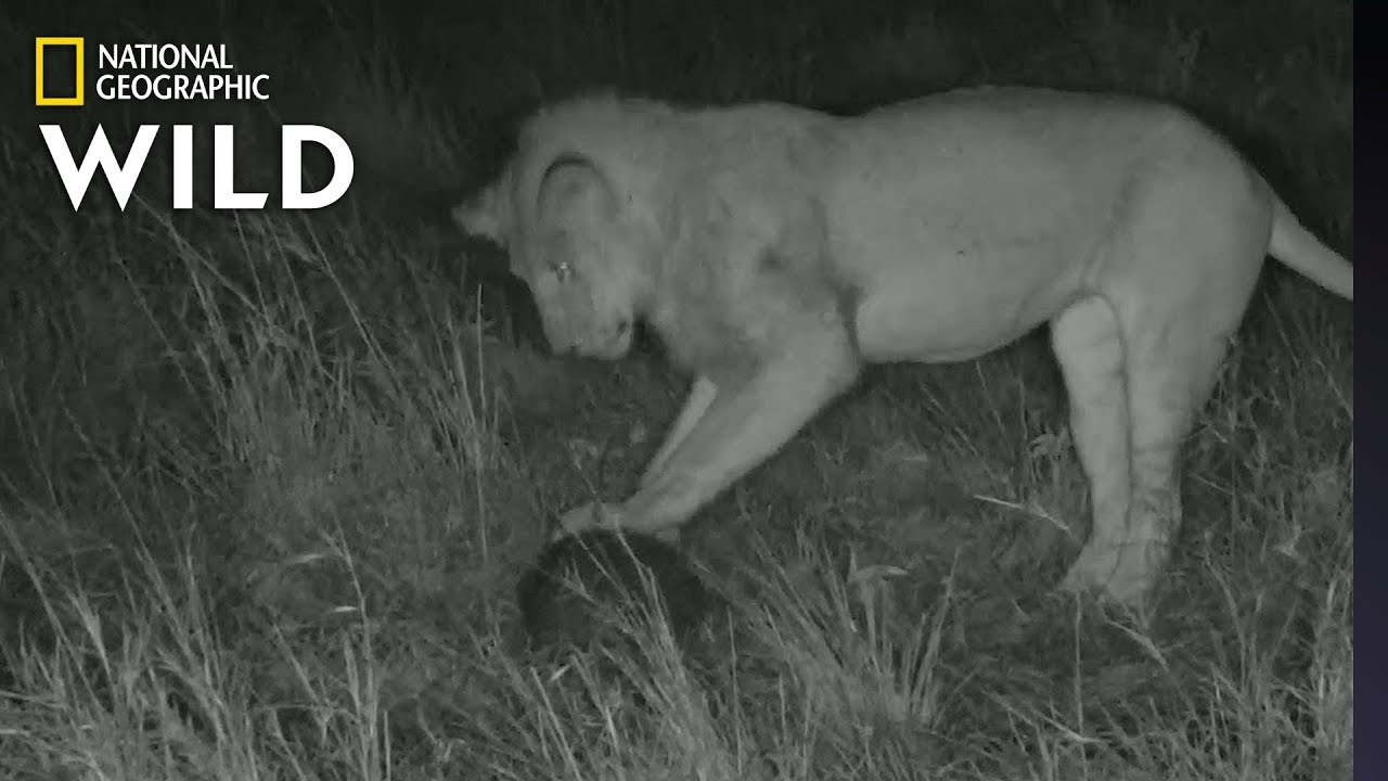 Lion 'Plays Soccer' with Pangolin In Rare Video | Nat Geo Wild