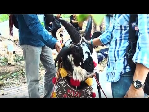 Agristream Tv Uniknya Domba Bertanduk 4 Youtube