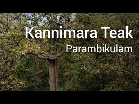 Kannimara Teak inside Parambikulam