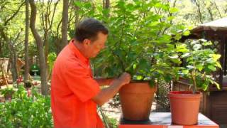 gardening tips caring for hibiscus plants