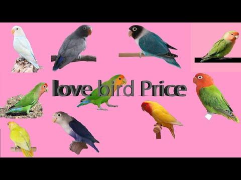 Top 12 Love bird Price ( 2018 - 2019 )