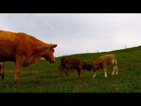 Joyful newborn calf has serious case of the zoomies