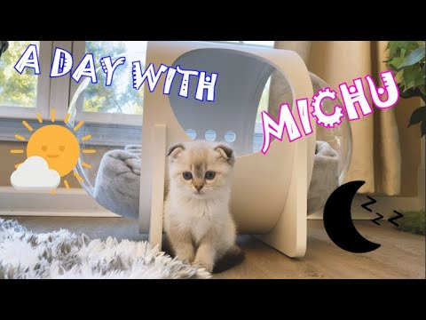 A Day with MICHU | New Scottish Fold member [4K]
