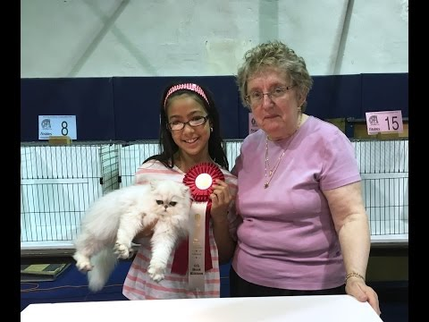 Shaded silver Persian kitten at the Anthony Wayne CFA cat show 5/7/2016