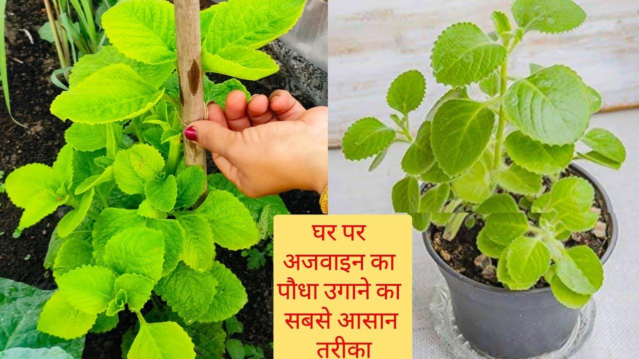 अजवाइन के पौधे को कटिंग से लगाने का सबसे सटीक तरीका अजवाइन का पौधा कैसे लगाएं How to grow Ajwain ?
