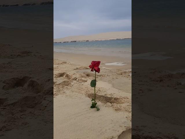 la Rose du Banc d'Arguin... pour la Team Traverser-Vivre !