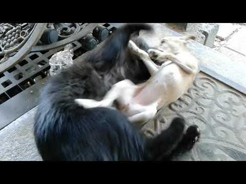 Big cat vs shcita dog