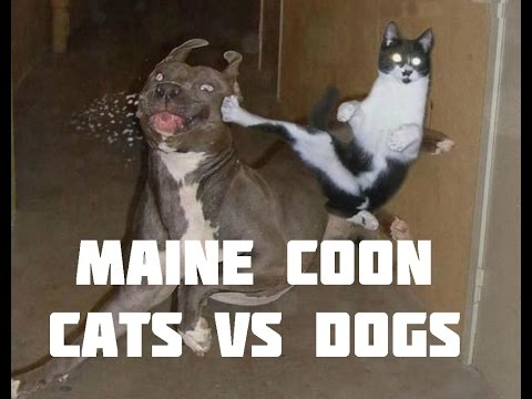 Maine Coon Cat Videos - Cats vs Dogs - Maine Coon and dogs playing