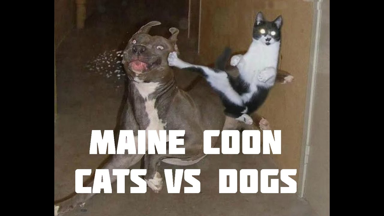 Maine Coon Cat Videos Cats Vs Dogs Maine Coon And Dogs Playing