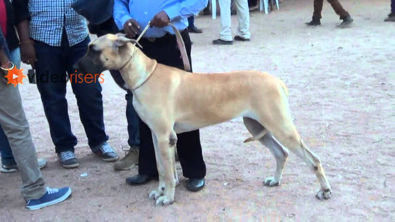 All Breeds Dogs Show Good Looking Great Danes Dogs 2013 Youtube