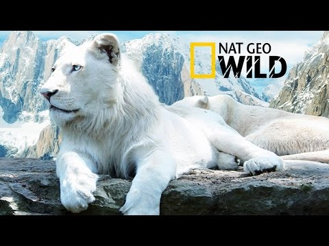 "The Rare and Exotic Animals "" White Lions""-[HD]National Geographic[Full Documentary]"
