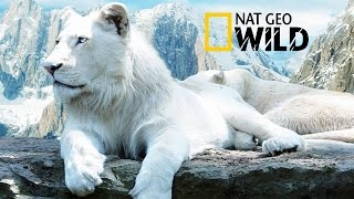 "Download Mp3 The Rare And Exotic Animals "" White Lions""- Hd National Geographic Ful"