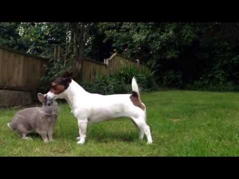 Lola the Jack Russell Terrier playing with our pet rabbit Thumper!