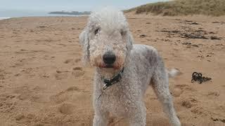A BEAUTIFUL BEDLINGTON TERRIER DOG AT THE BEACH