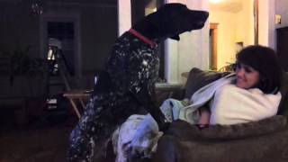 German Shorthaired Pointer Howling At Phone