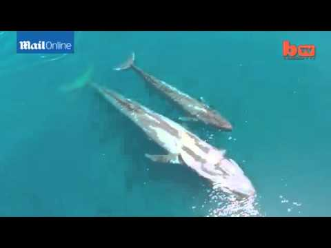 Blue whales in the Indian Ocean captured by drone camera