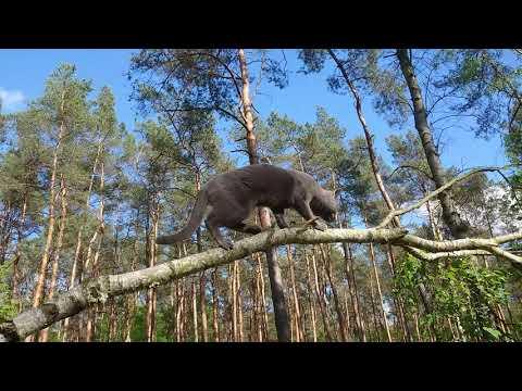 Caspian, a Russian blue cat, in the woods 01