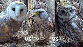 Barn Owl vs Kestrel vs Little Owls | Wildlife Fight Over New Nest Box