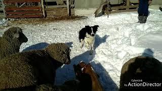 Бордер колли Йота - идеальное поведение при первом контакте со стадом овец