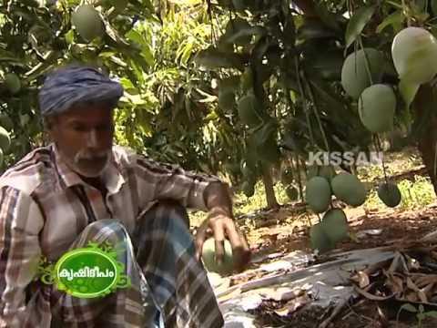 Sandesh One High Density Mango Plantation