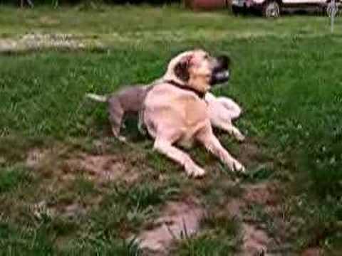 Anatolian Shepherd Pups 5 wks. old