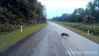 Video Kamikaze wild boar motorcycle crash download MP3, 3GP, MP4, WEBM, AVI, FLV Agustus 2017