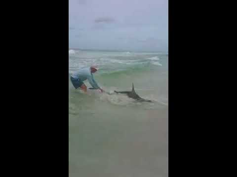 Hammerhead shark @ PCB May 27, 2018