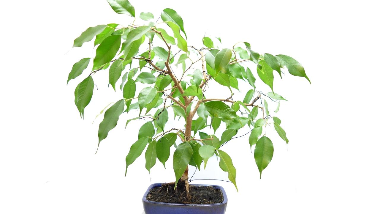 Ficus Benjamina Bonsai Wiring And Update Youtube Not For Dummies