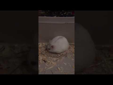 Russian Dwarfhamster cleaning himself in shoebox