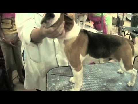 Beagle Grooming 101