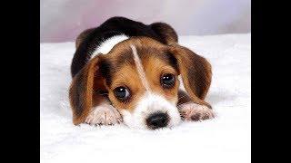 Лучшая подборка приколов про биглей | Смешные бигли собаки и щенки