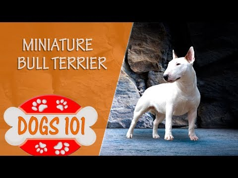 Dogs 101 - MINIATURE BULL TERRIER - Top Dog Facts About the MINIATURE BULL TERRIER