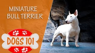Dogs 101  MINIATURE BULL TERRIER  Top Dog Facts About the MINIATURE BULL TERRIER