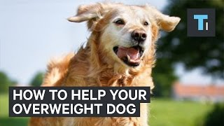 How to get your overweight dog back in shape