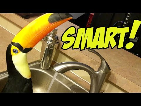 pet toucan discovers a water faucet youtube