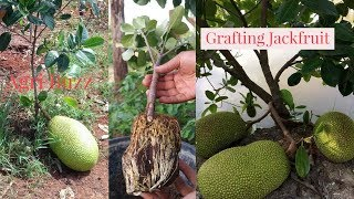 Jackfruit Grafting Technique by Attaching Rootstock