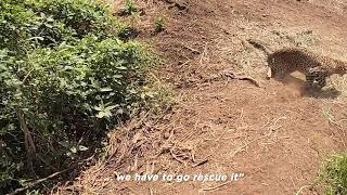 World Wildlife Day   Leopard Rescue from Pargaon Maharashtra