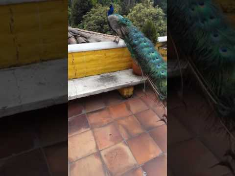 Beautiful Peacock/quito/nature/hotels/travel/tourism