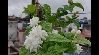 In Monsoon How To Grow  Mogra / Arabian Jasmine Plant  From Cutting And  Get More Flowers