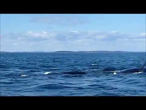 North Atlantic right whale - Quoddy Link Marine