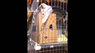うちの猫を檻にしまっていたら、鍵を開けて脱走しました。