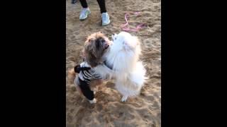 Dog Wrestling: Pomeranian Vs Shih Tzu 포메라니안 레오와 시추의 씨름 한 판!