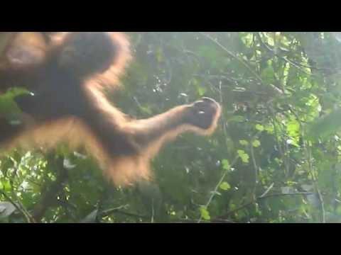 baby orangutan showing off
