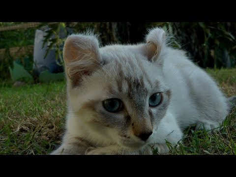 Amazing Kitten - Rare white Exotic lynx Highlander Kitten 2017