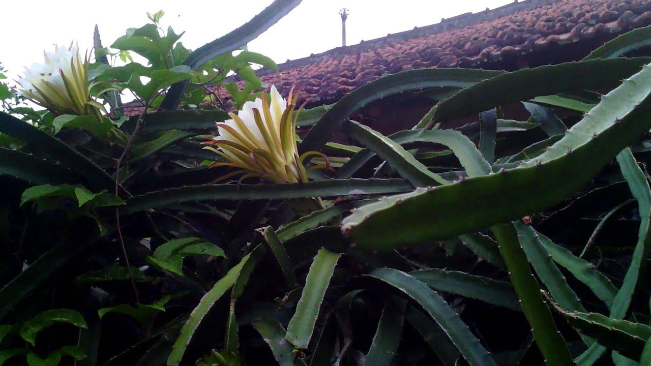 Unduh 600+ Wallpaper Bunga Naga  Terbaru