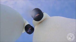 Gambar cover La curiosità dei pinguini: videoselfie di coppia in Antartide