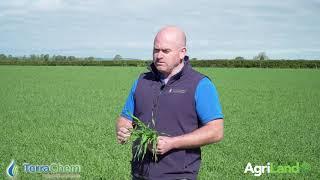 Using growth regulator on spring barley