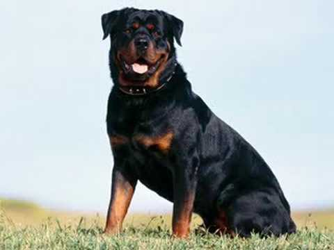 טוב מאוד חוק כלבים מסוכנים ! - YouTube KS-23